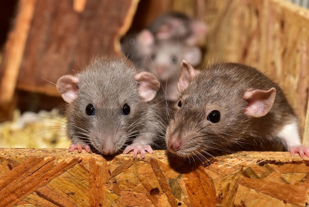 Cientistas de Hong Kong preocupados com novo vírus transmitido por ratos