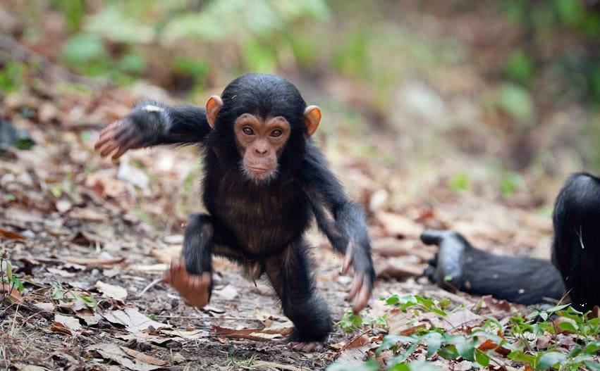 Cidadãos julgados por tentarem comercializar chimpanzé morto com tétano