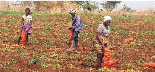 Produtores da Matala apoiam restrição na importação da batata e da cebola