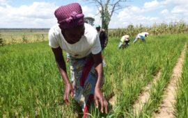 BIÉ: Cooperativa do Cuemba prevê produzir mais de 200 mil toneladas de arroz