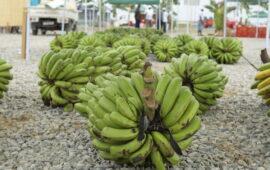 Agrolíder vai exportar mais 15 mil toneladas de banana