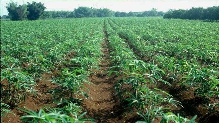 Cuanza-Norte: agro-empresária perde sete hectares de mandioca