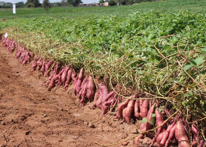 Lagartas devastam seis hectares de batata-doce no Dombe-Grande