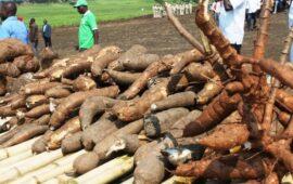Governo procura fazendas com variedade de mandioca que vitimou mortalmente três crianças