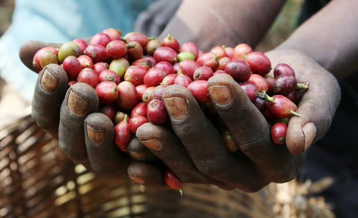 Angola conta com 16 mil cafeicultores
