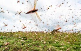 Executivo e FAO mobilizam meios para combate à praga de gafanhotos