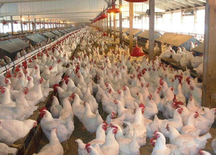 Aviário com 5 mil frangos sem comprador
